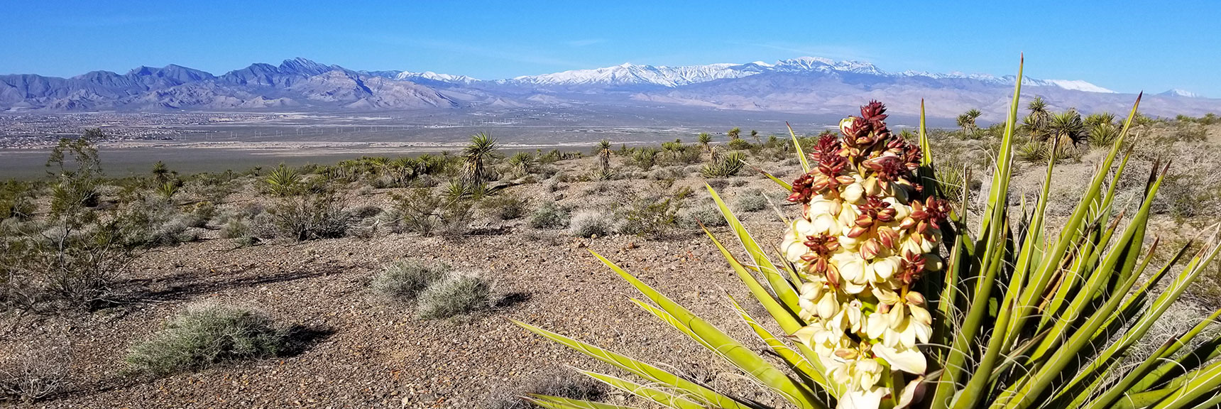 Yucca Plant in Bloom South of Gass Peak, Nevada
