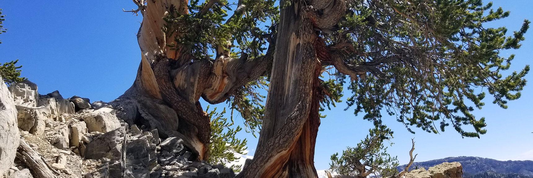 Beautiful Ancient Bristlecone Pines on North Loop Trail Below Charleston Peak