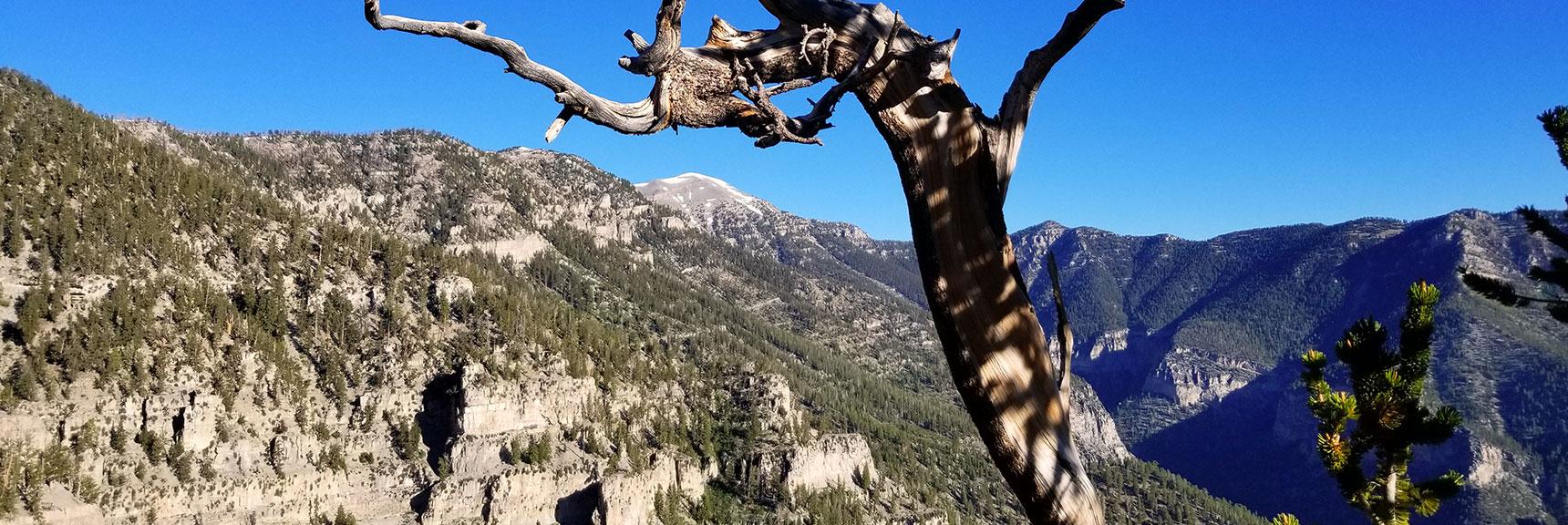 Ribbon-shaped Bristlecone Pine Tree Trunk Framing Mt. Charleston, Nevada