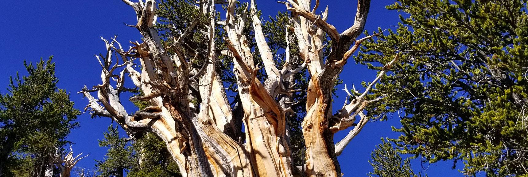 Huge Bristlecone Pine Just Below South Rim of Kyle Canyon