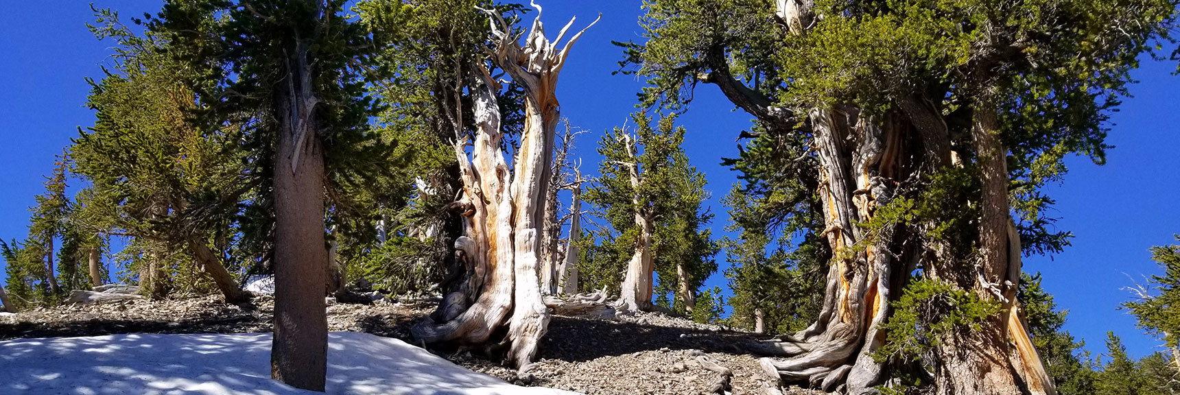 Bristlecone Pie Forest Below South Rim of Kyle Canyon