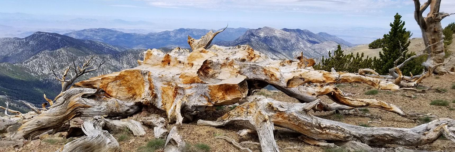 Fallen, Sun Bleached Bristlecone Pine on Mummy Mt. Summit