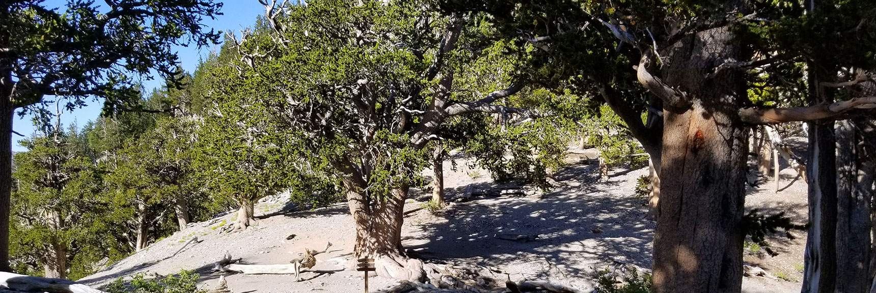 First View of Rain Tree from the North Loop Trail in the Mt. Charleston Wilderness, Nevada