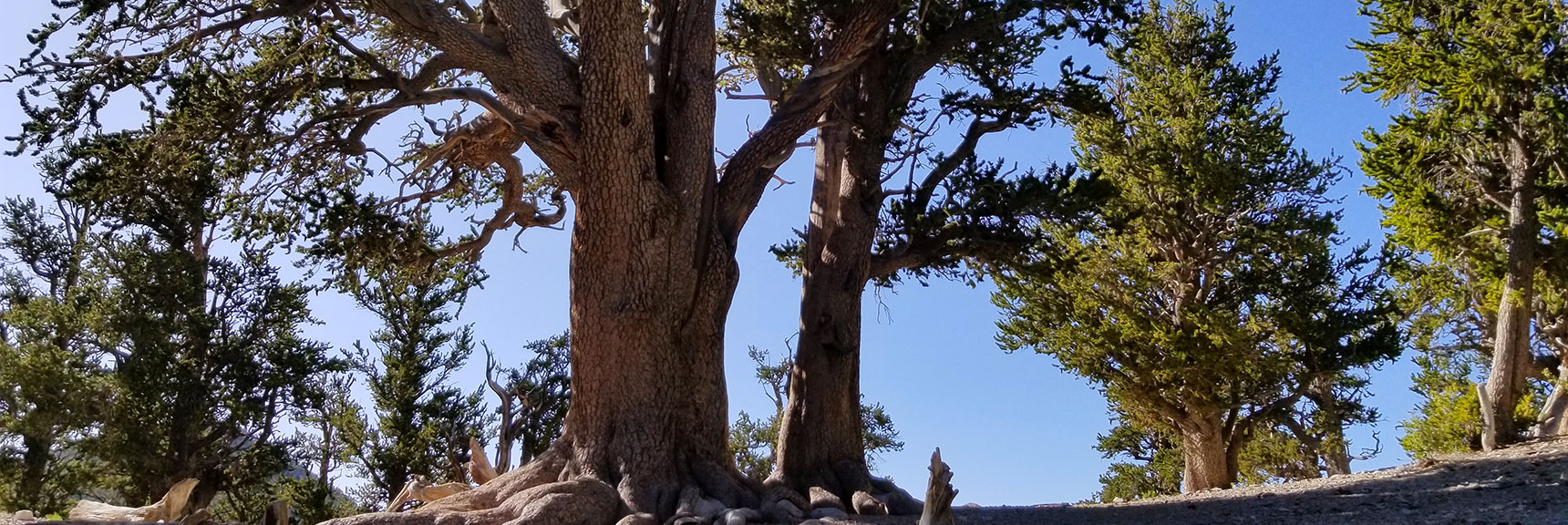 Looking Back at Rain Tree Before Heading to Mummy Springs in Mt. Charleston Wilderness, Nevada