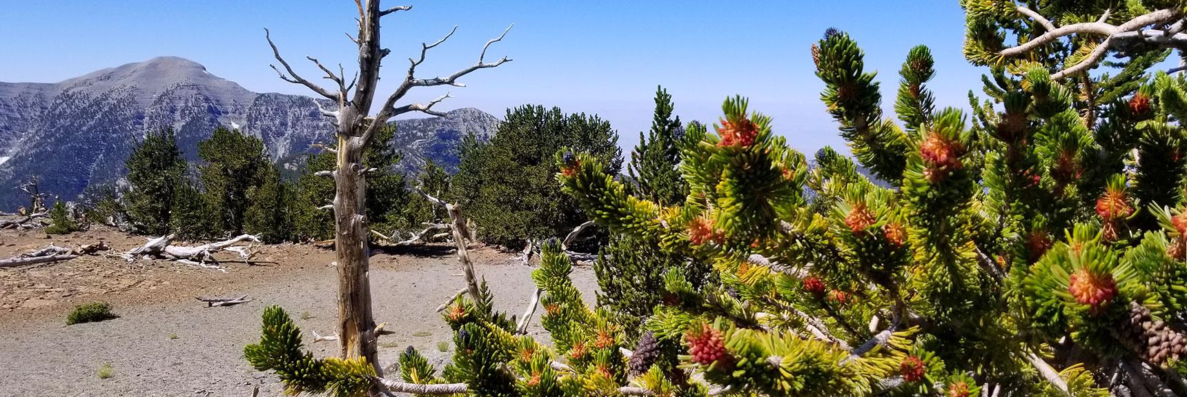 Mt Charleston Viewed Through Bristlecone Pine on Mummy Mt Summit in Mt Charleston Wilderness, Nevada