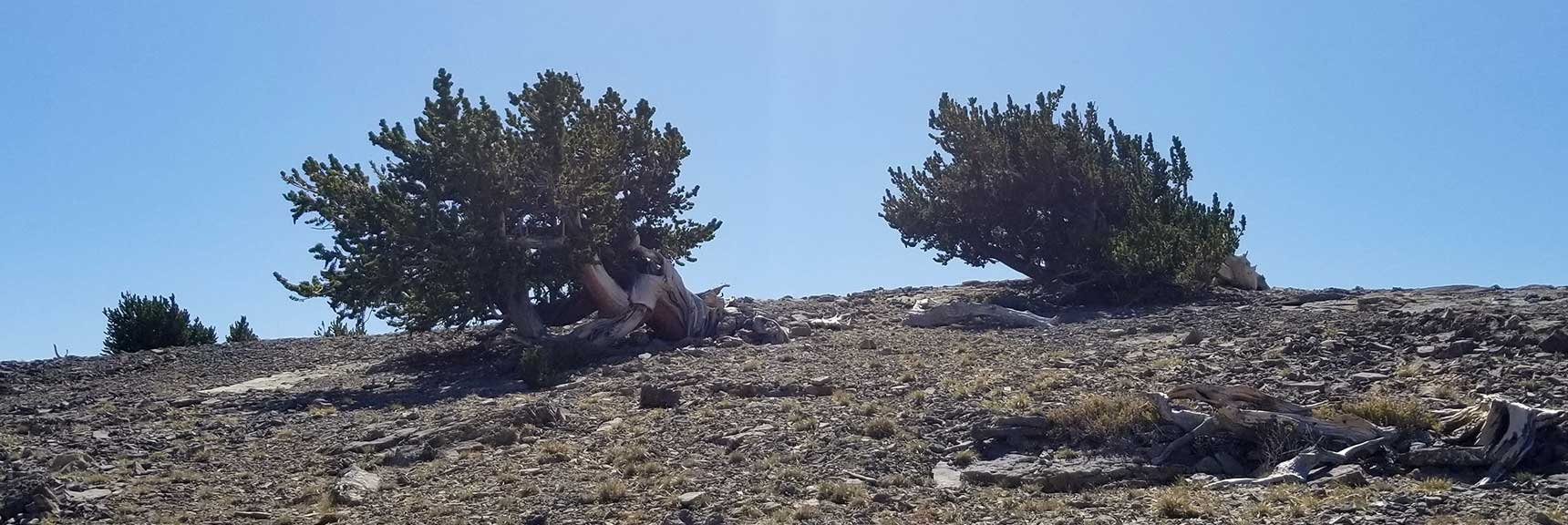 Sculpted Bristlecone Pines on the Northern End of Mummy Mt, Nevada