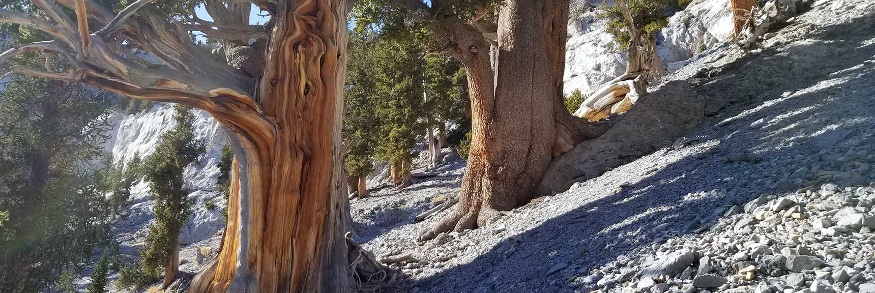 Ancient Bristlecone Pines On the Avalanche Slope Below the Northeast Final Approach to Mummy Mountain Summit, Nevada
