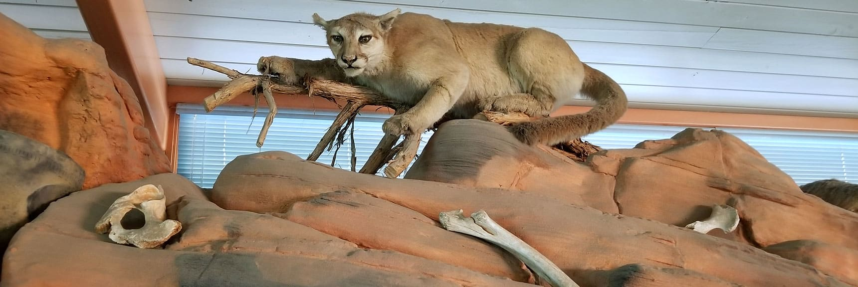 Visitor's Center Cougar Display at Valley of Fire State Park, Nevada