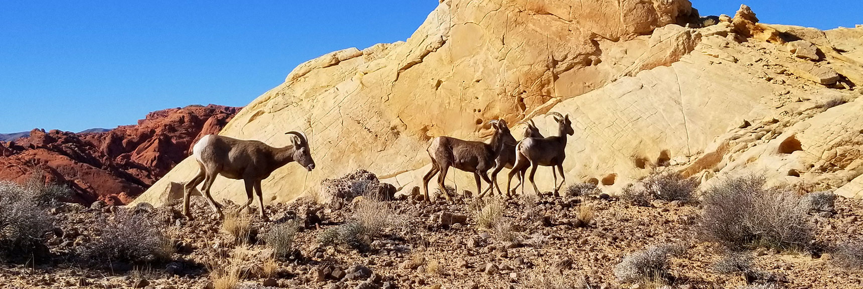 Bighorn Sheep at Silica Dome In Valley of Fire State Park, Nevada Slide 002