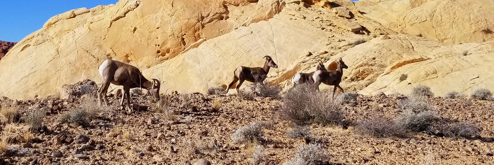 Bighorn Sheep at Silica Dome In Valley of Fire State Park, Nevada Slide 004
