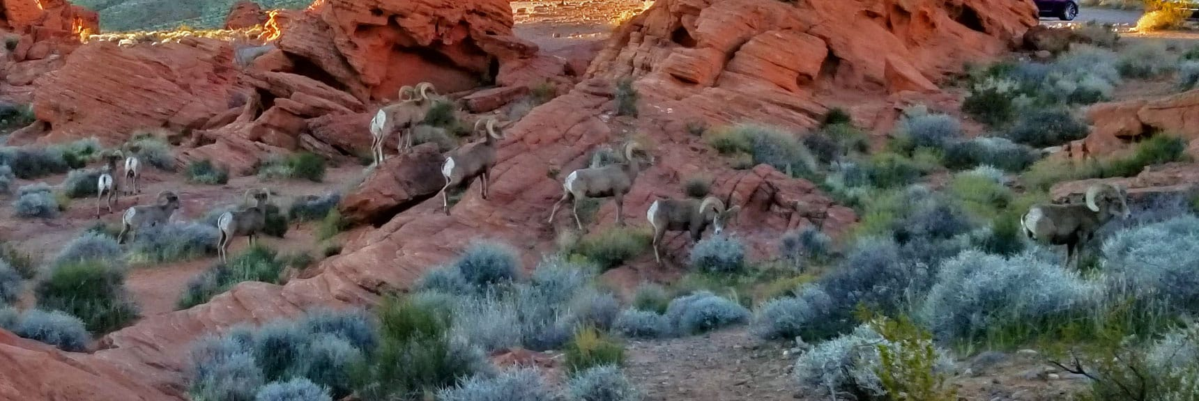 Bighorn Sheep at Beehives in Valley of Fire State Park, Nevada Slide 009