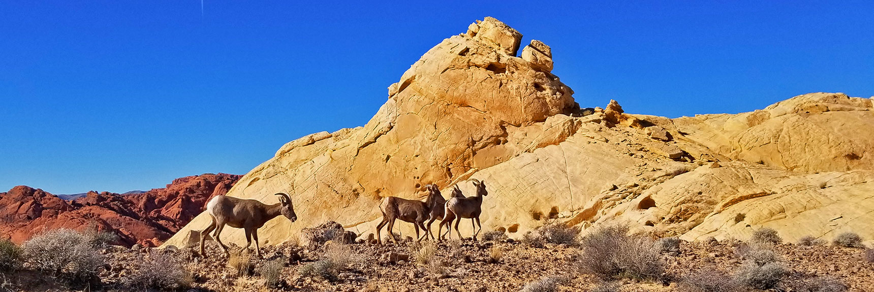 Bighorn Sheep at Silica Dome in Valley of Fire State Park, Nevada
