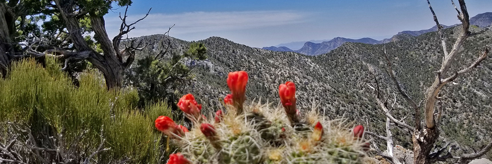 Cactus Blooms At Devil's Slide Summit, El Padre Mt. In Background | La Madre Mountain Northern Approach, Nevada