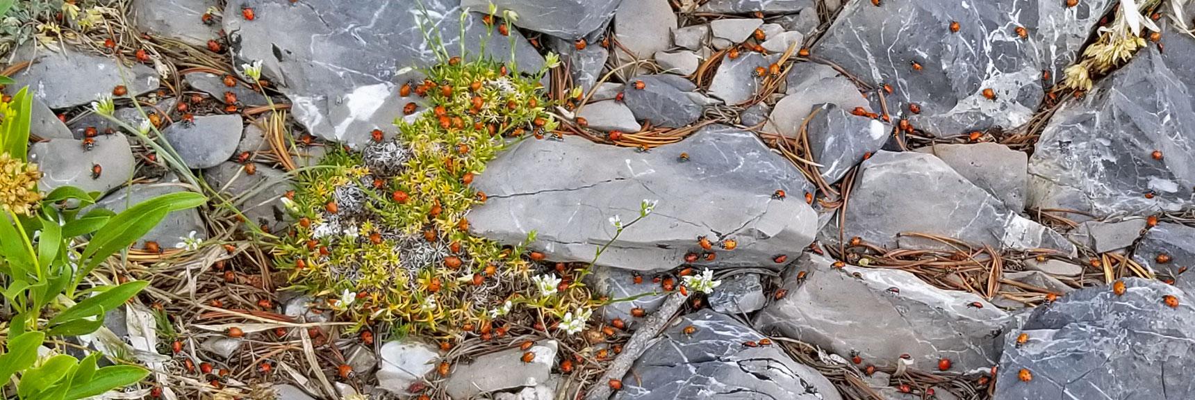 Ladybug Swarm on Harris Mountain Summit | Six Peak Circuit Adventure in the Spring Mountains, Nevada