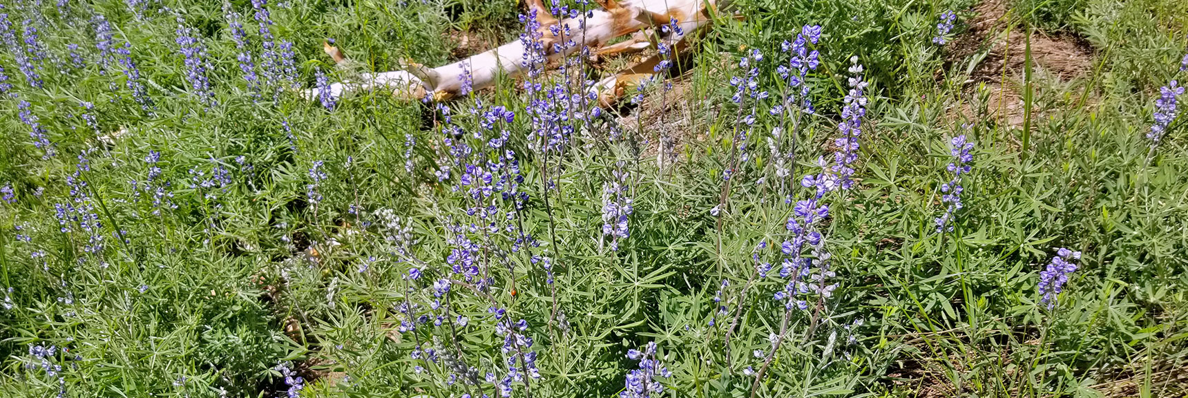 Field of Wild Lupine Flowers in the Griffith/Harris Saddle | Six Peak Circuit Adventure in the Spring Mountains, Nevada