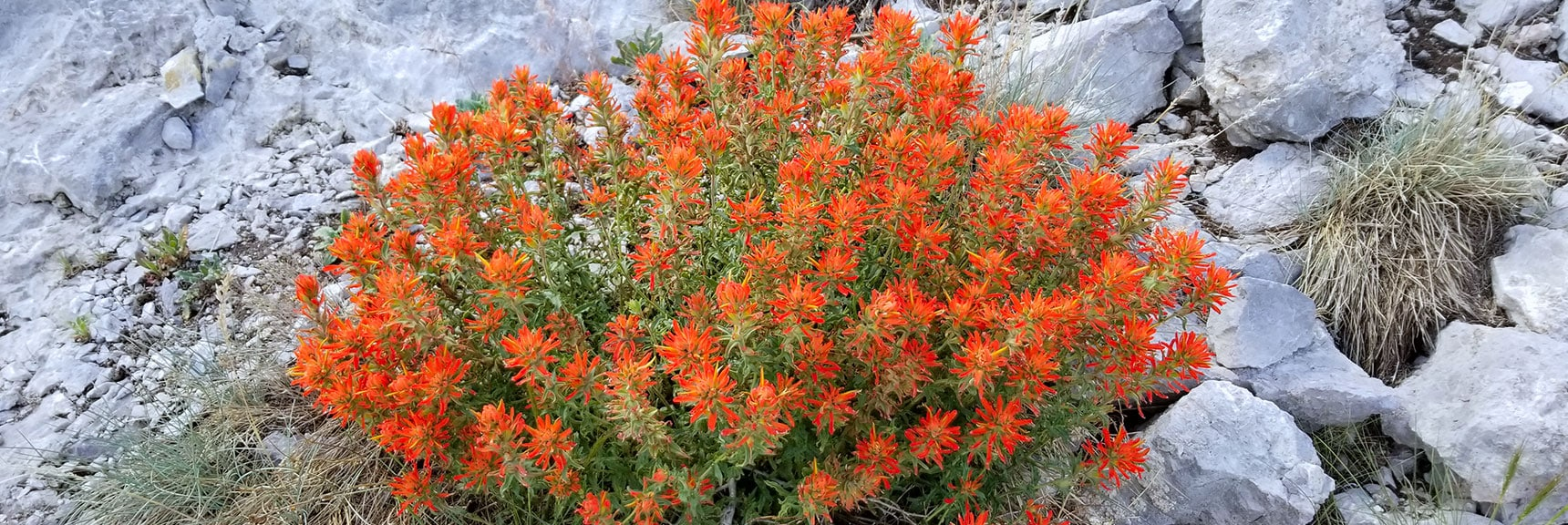 Indian Paintbrush Plant on the Cliff Bypass Trail at the Griffith/Harris Saddle | Six Peak Circuit Adventure in the Spring Mountains, Nevada