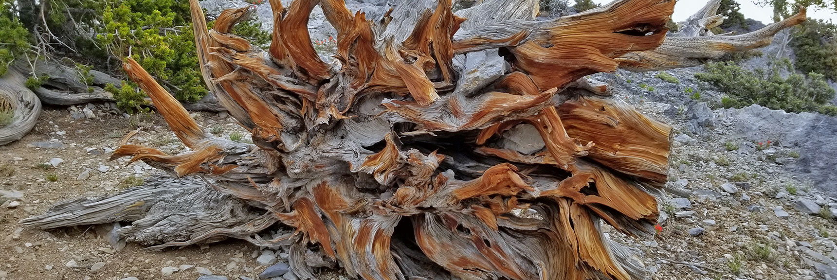 Fallen Bristlecone Pine on a North Loop Trail Plateau   Mummy Mountain Nevada Northeast Approach