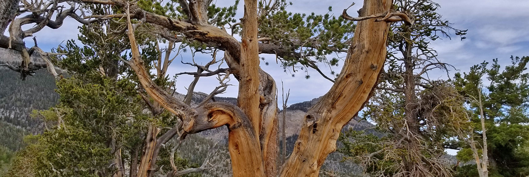 Bristlecone Pine on the North Loop Trail   Mummy Mountain Nevada Northeast Approach