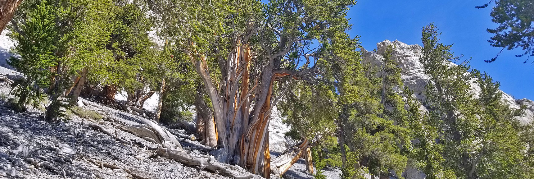 Bristlecone Pine Trees on an Avalanche Slope East of Mummy Mountain   Mummy Mountain Northeast Approach Wilderness Navigation, Nevada