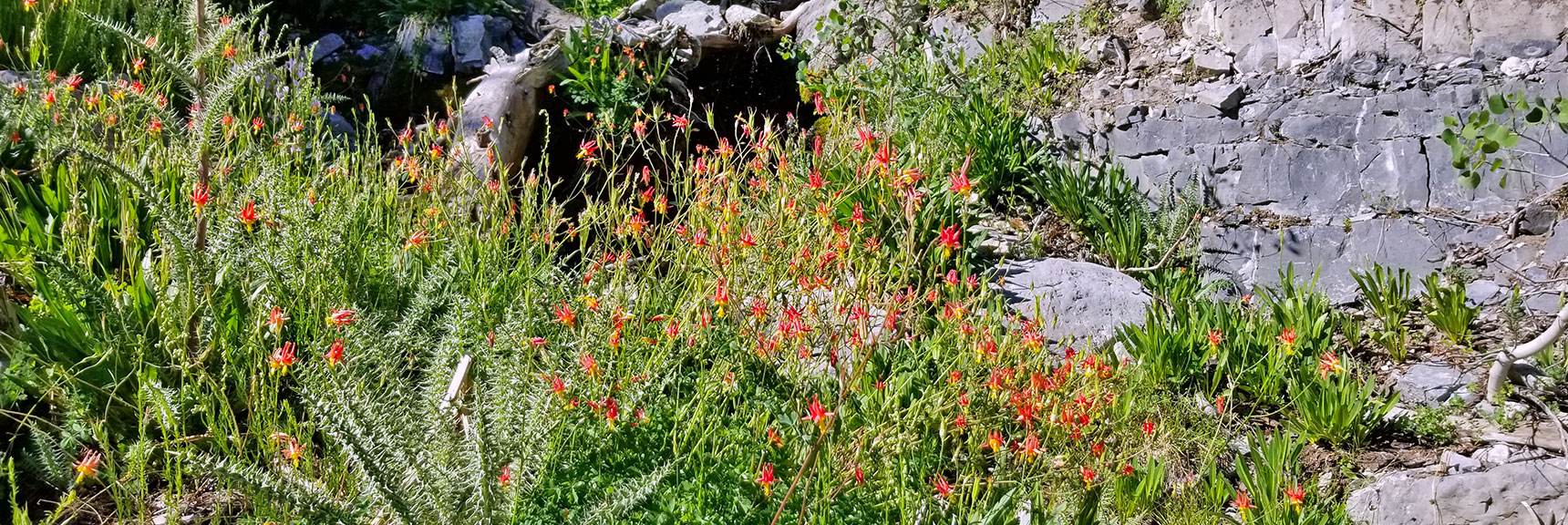 Field of Columbine Wildflowers in Canyon Wash | Cathedral Rock to South Ridge Kyle Canyon Summit, Nevada