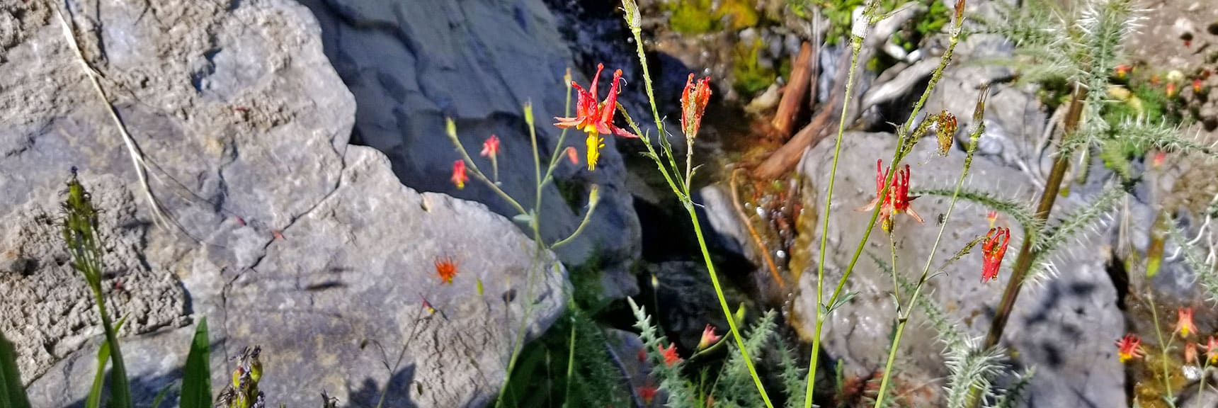 Columbine Wildflowers Along Spring in Canyon Wash | Cathedral Rock to South Ridge Kyle Canyon Summit, Nevada