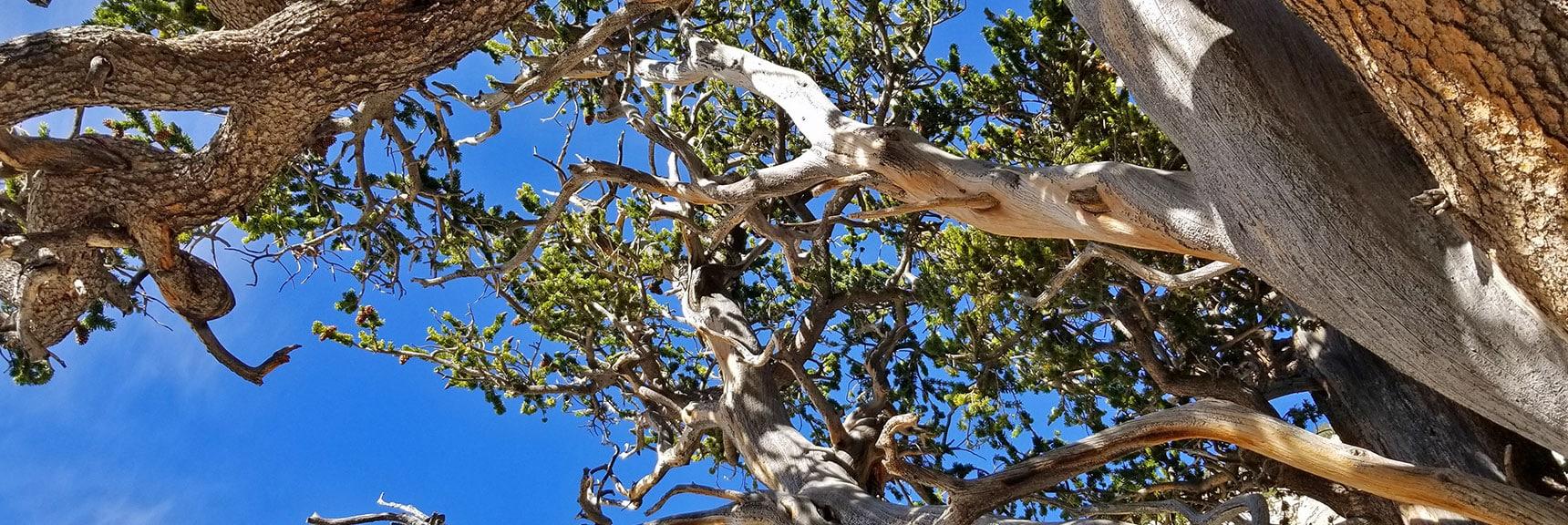 3000 year-old Raintree's Canopy | Mummy Mountain's Knees | Mt. Charleston Wilderness, Nevada 012