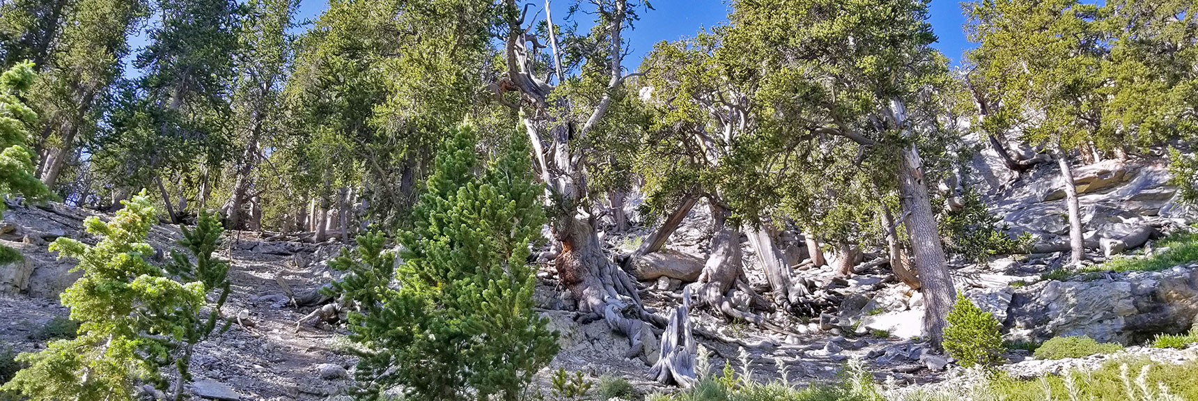 Beginning of the Avalanche Slope Above Mummy Springs on the Way to Mummy's Knees | Mummy Mountain's Knees | Mt. Charleston Wilderness, Nevada 015