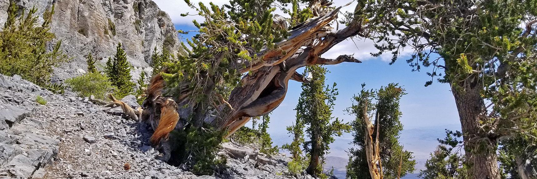 Bristlecone Pines Arising from Granite Rock of Mummy's Knees | Mummy Mountain's Knees | Mt. Charleston Wilderness, Nevada 023