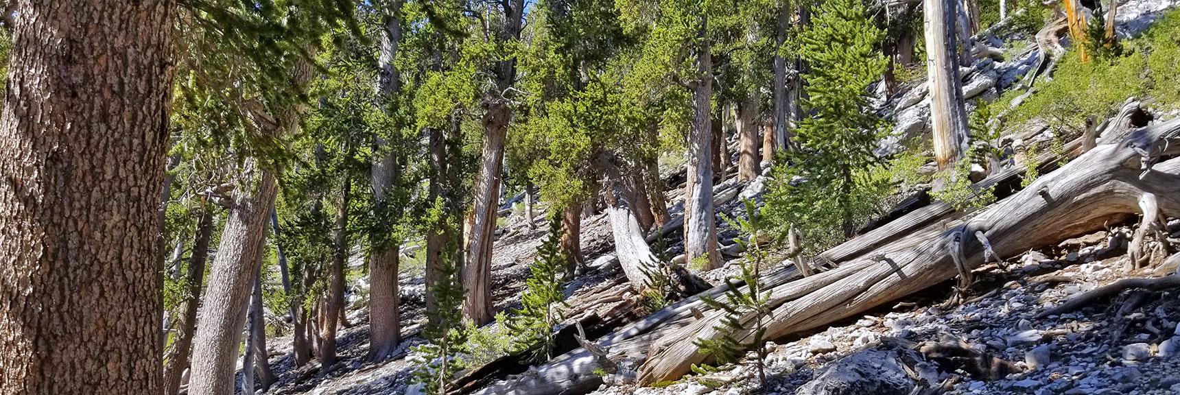 Avalanche Slope Angling Toward Mummy's Toe  Mummy Mountain's Toe, Mt. Charleston Wilderness, Nevada