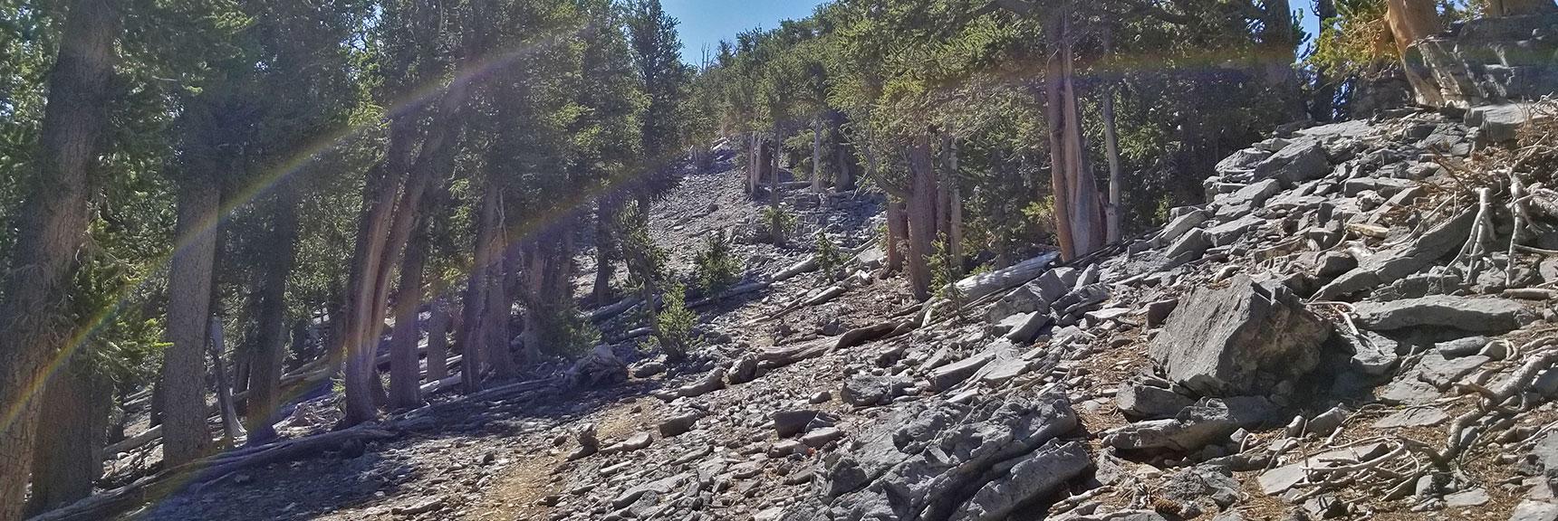 Final Approach Through Bristlecone Pine Forest Beneath Mummy's Toe   Mummy Mountain's Toe, Mt. Charleston Wilderness, Nevada
