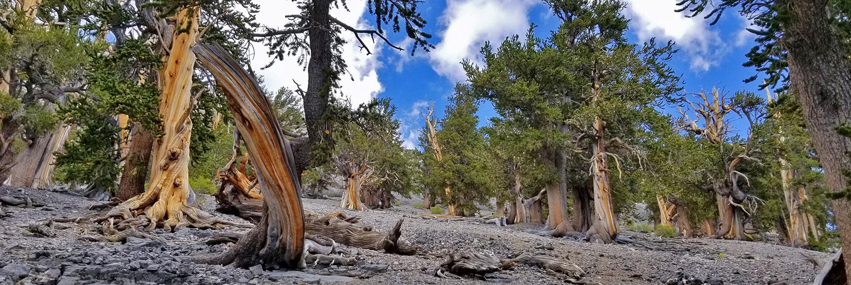 Bristlecone Pine Forest on Ridge Below Mummy Mountain Eastern Cliffs   Mummy Mountain NNE, Mt. Charleston Wilderness, Nevada, Slide 010