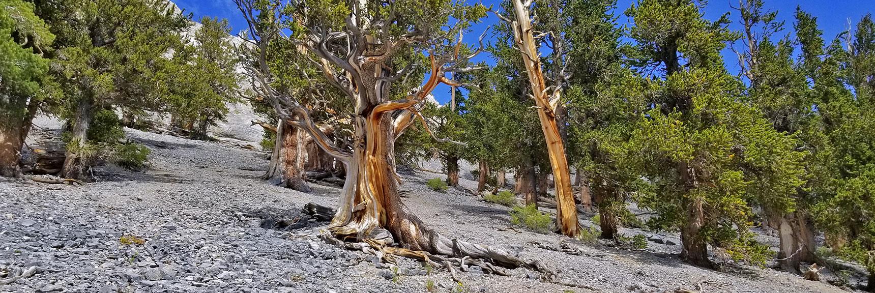 Bristlecone Pine Forest on Avalanche Slope Below Mummy Mountain Eastern Cliffs   Mummy Mountain NNE, Mt. Charleston Wilderness, Nevada, Slide 011