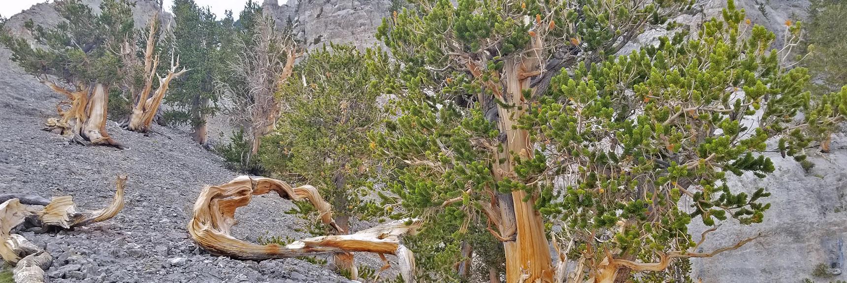 Mummy Mountain North Exotic Ancient Bristlecone Pines, Nevada