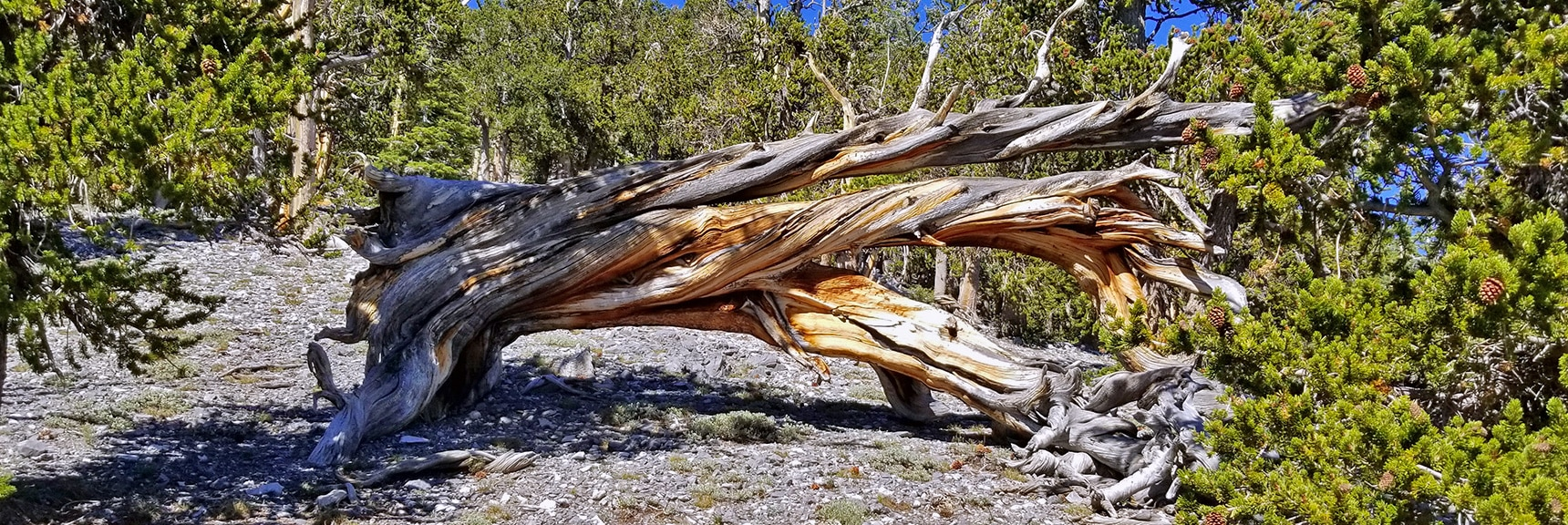 Fallen Ancient Bristlecone Pine Near Summit of Robbers Roost Canyon   Fletcher Peak from Robbers Roost   Spring Mountains, Nevada