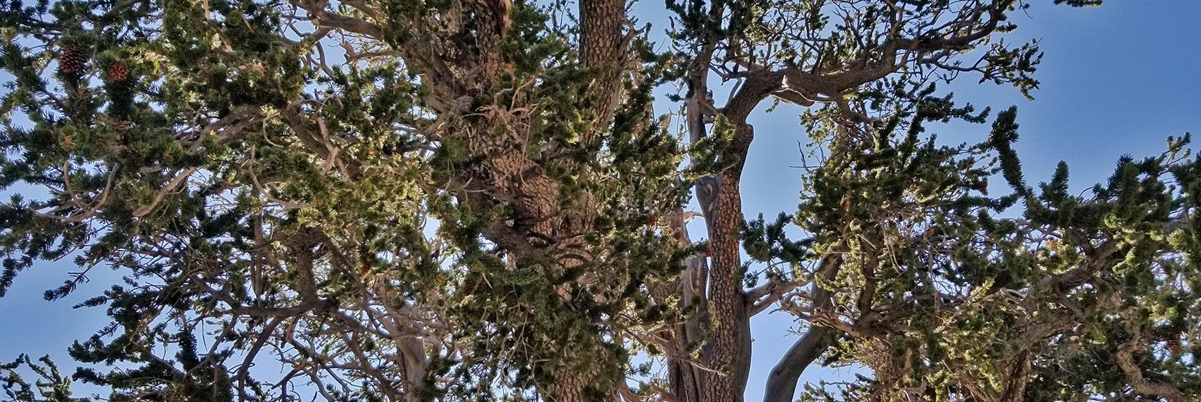 3000-Year-Old Raintree's Canopy | Mummy Springs Loop | Mt. Charleston Wilderness | Spring Mountains, Nevada