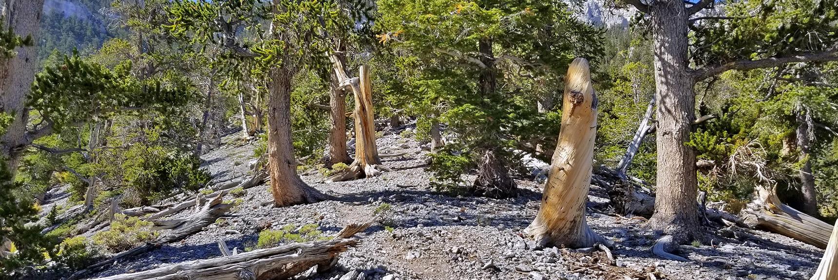 Ancient Bristlecone Pine Forest on Upper Cougar Ridge Trail | Mummy Springs Loop | Mt. Charleston Wilderness | Spring Mountains, Nevada