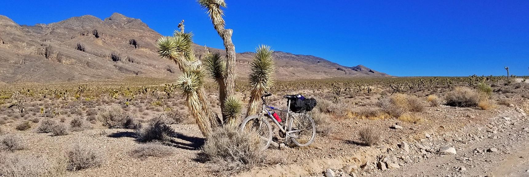 Mountain Bike Resting on Huge Joshua Tree in Yucca Forest   Lower Mormon Well Road   Sheep Range, Desert National Wildlife Refuge, Nevada