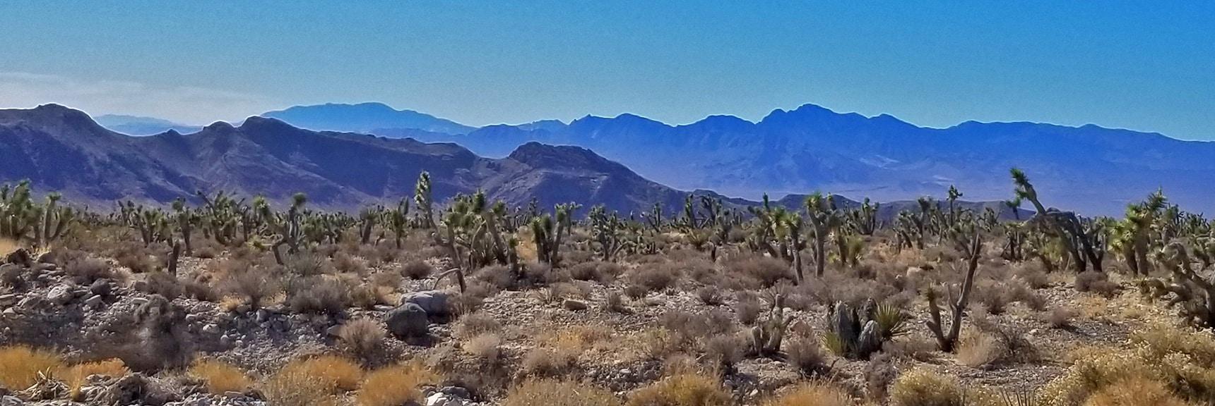View of Massive Yucca Forest, Endless Joshua Trees   Lower Mormon Well Road   Sheep Range, Desert National Wildlife Refuge, Nevada