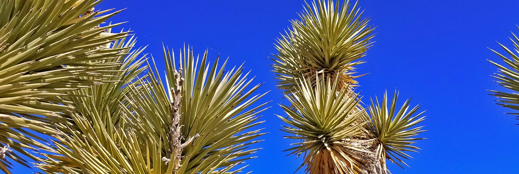 Canopy of Huge Joshua Tree   Lower Mormon Well Road   Sheep Range, Desert National Wildlife Refuge, Nevada