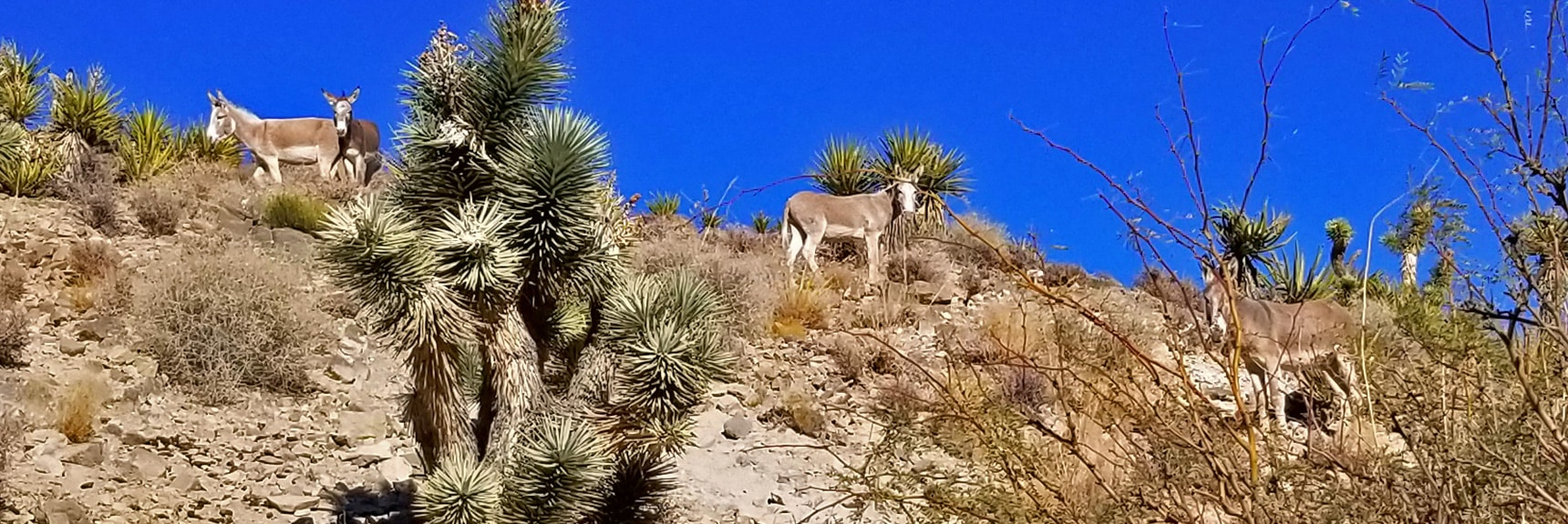 Wild Burros on Lucky Strike Road Past Goldwater Canyon   Angel Peak via Lucky Strike Road   Mt Charleston Wilderness   Spring Mountains, Nevada
