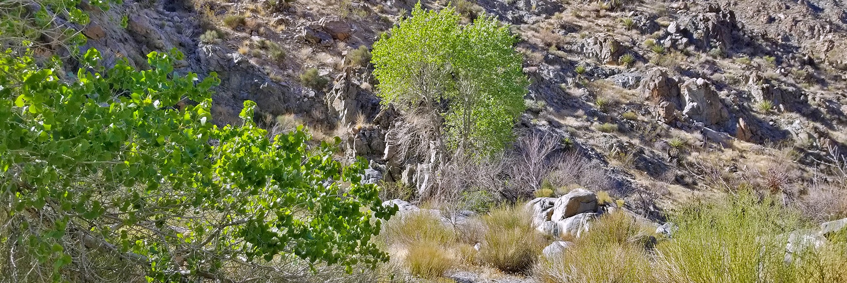 First Spring in Horse Thief Canyon   Horse Thief Canyon Loop   Mt. Wilson   Black Mountains   Lake Mead National Recreation Area, Arizona