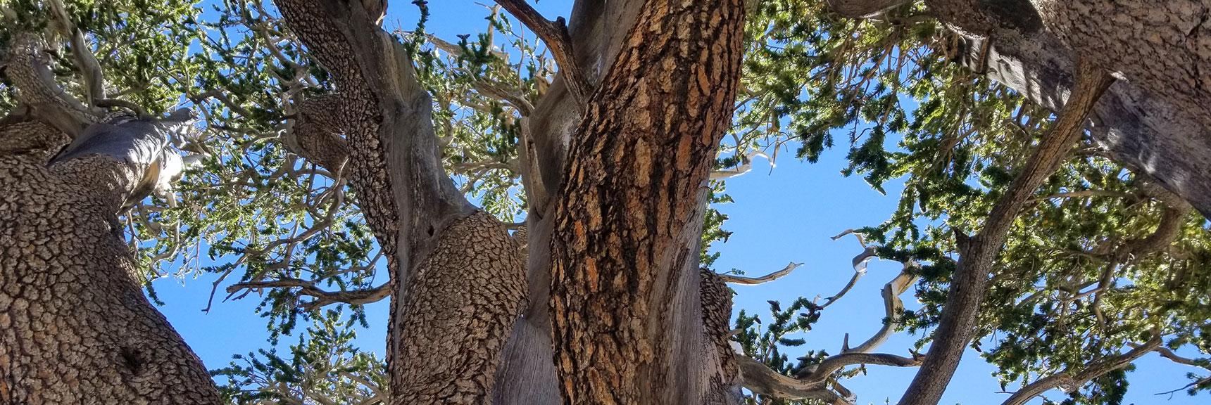 Raintree | Mt Charleston Wilderness | Spring Mountains, Nevada