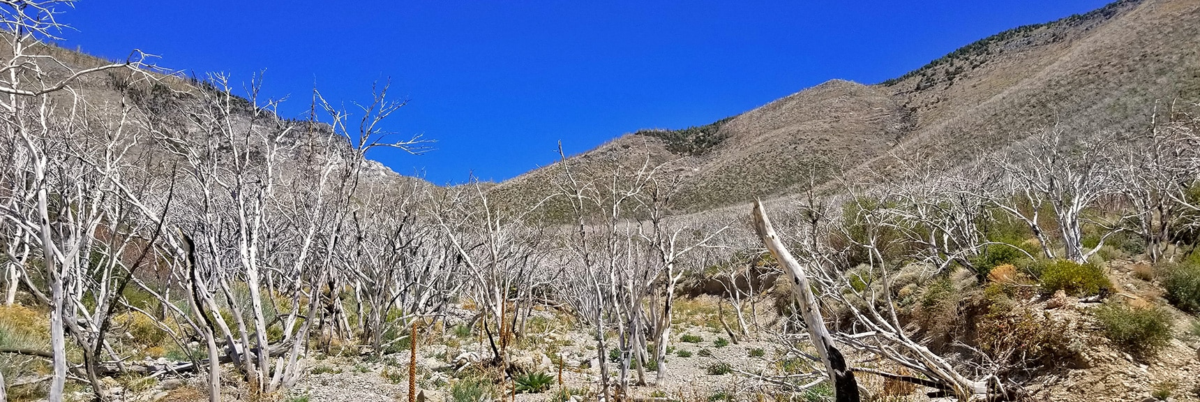 At 7,000ft Canyon Floor Sees Burned Out Forest, More Brush | Harris Mountain from Lovell Canyon Nevada