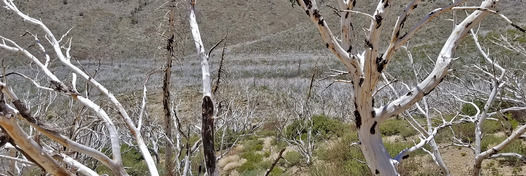 View of Upper Lovell Canyon Wash Area. Lots of Burned Out Trees and Brush | Harris Mountain from Lovell Canyon Nevada