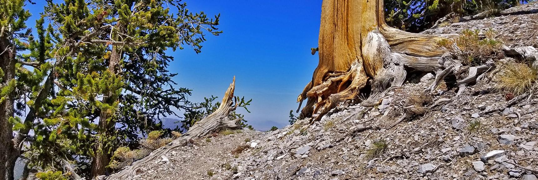 More Amazing Bristlecone Pine Sculptures on Bonanza Trail Near McFarland Peak | Base of McFarland Peak via Bristlecone Pine Trail and Bonanza Trail | Lee Canyon | Spring Mountains, Nevada