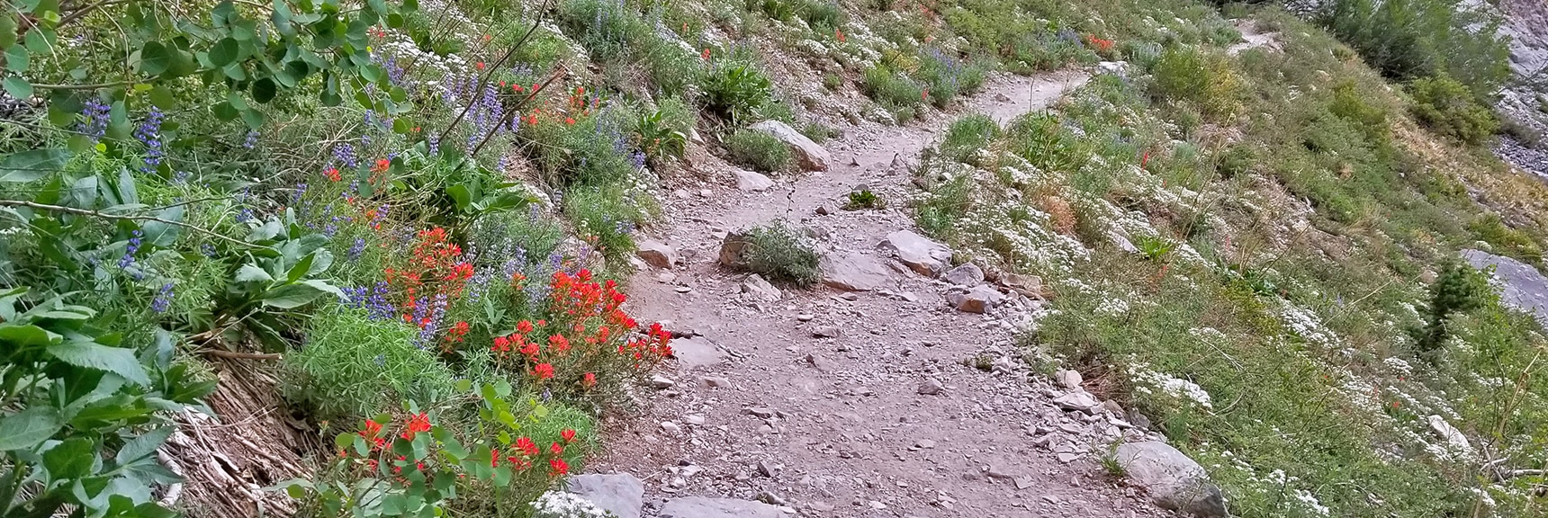 More Spring Wildflowers: Indian Paintbrush (red) Lupine (blue) | Sexton Ridge Descent from Griffith Peak, Mt. Charleston Wilderness, Spring Mountains, Nevada
