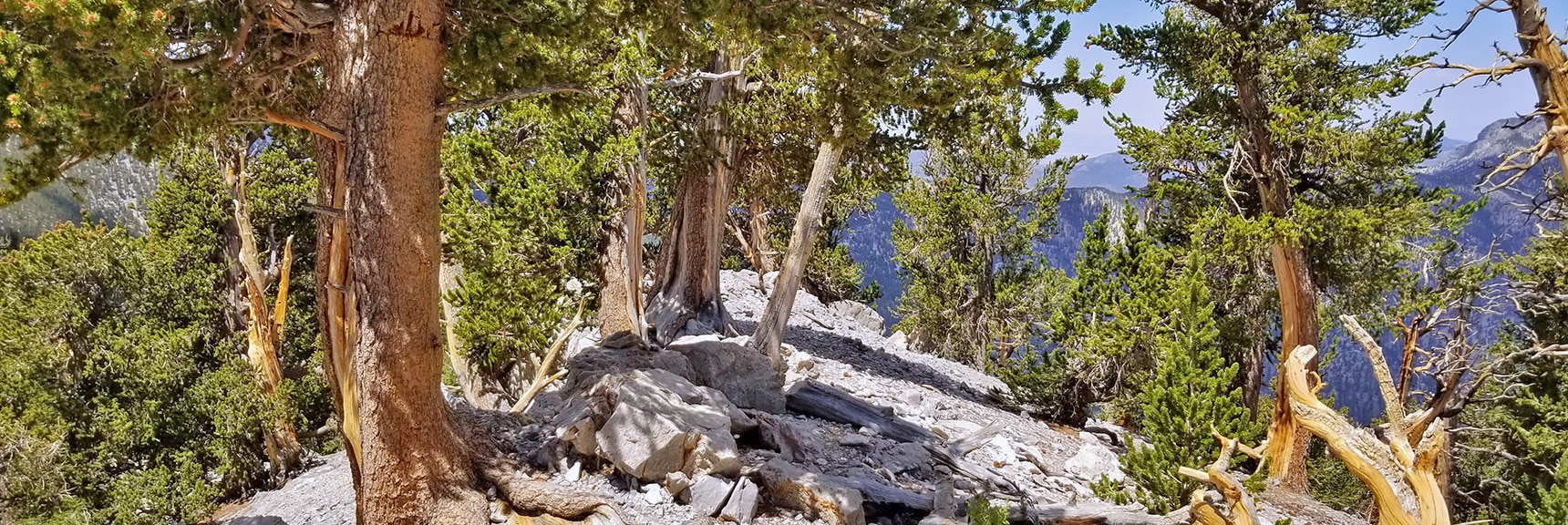 Bristlecone Pine Forest at the Summit of the