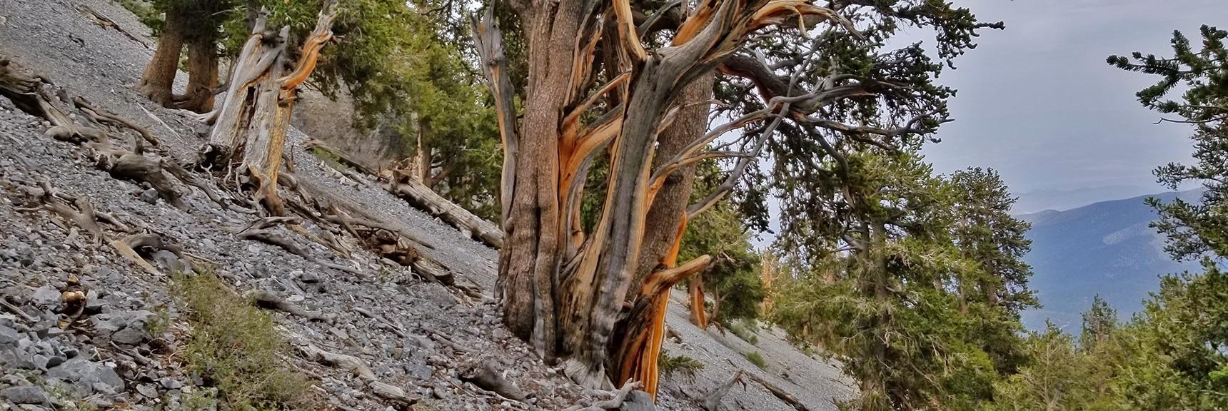 Impressive Ancient Bristlecone Pines Growing on the Avalanche Slope Below the NE Cliff Descent Chute. | Mummy Mountain NE Cliffs Descent | Mt Charleston Wilderness | Spring Mountains, Nevada