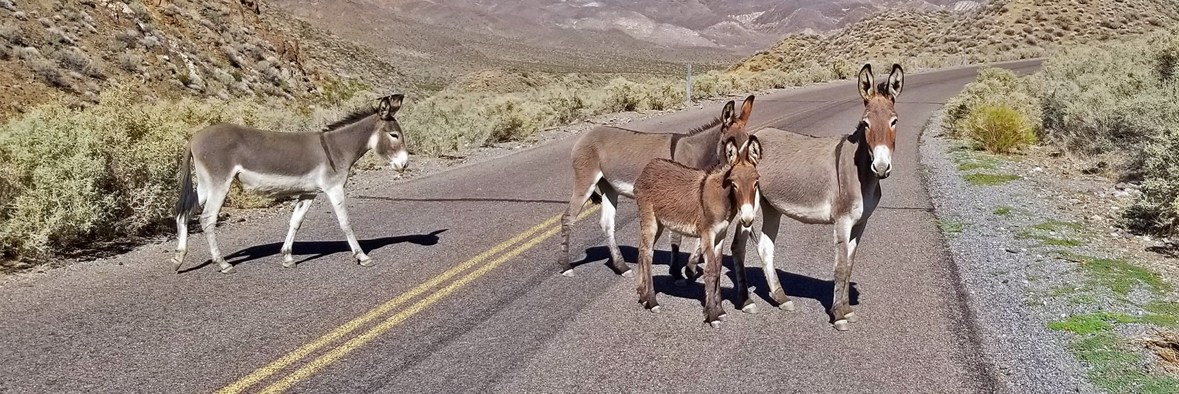 Wild Mule Family on Charcoal Kiln Road | Charcoal Kilns | Death Valley, California