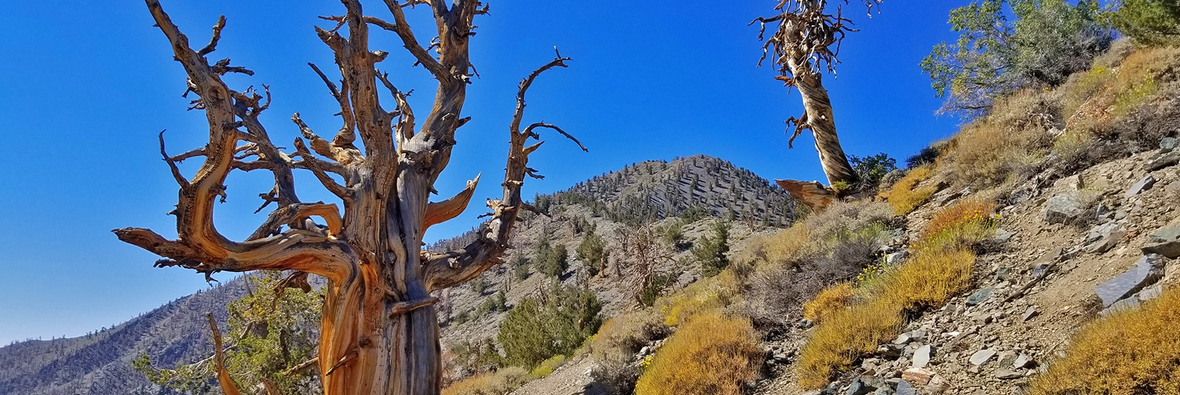 Bristlecone Pines Appear While Closing in on Telescope Peak Summit   Telescope Peak Summit from Wildrose Charcoal Kilns Parking Area, Panamint Mountains, Death Valley National Park, California